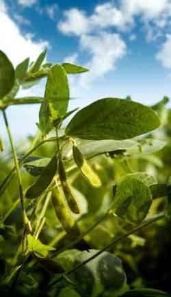 Soybean-plant-opt