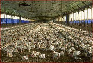 Chicken_farm