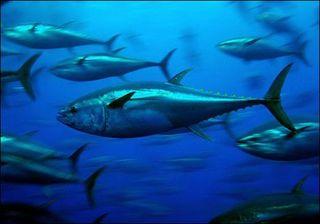 Bluefin-tuna-from-treehugger