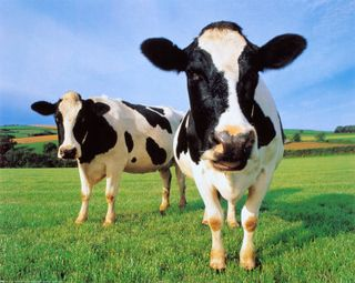 Cool-cows