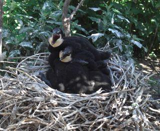 Cormorant Nestlings