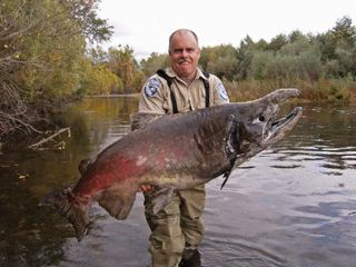 Giant chinook salmon battlecreek