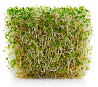 Alfalfa_sprouted