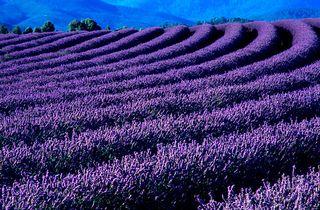 Work.2137060.3.flat,550x550,075,f.bridestowe-lavendar
